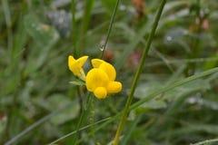 Желтый цветок поля после дождя на фоне зеленой травы Стоковая Фотография
