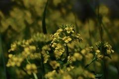 Желтый цветок поля Стоковые Фото