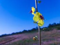 Желтый цветок поля Стоковые Фотографии RF