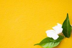 Желтый цветок предпосылки, лилия Canna Стоковые Фотографии RF