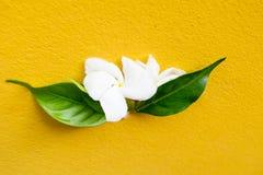 Желтый цветок предпосылки, лилия Canna Стоковые Изображения