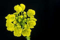 Желтый цветок рапса Стоковое Изображение RF
