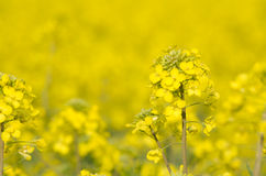 Желтый цветок рапса Стоковое фото RF
