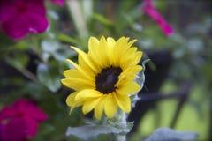 Желтый цветок солнца Стоковые Изображения RF