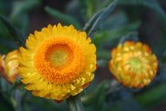 Желтый цветок соломы: Левая рамка Стоковое Изображение RF