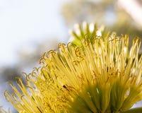 Желтый цветок столетника Стоковая Фотография