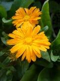 Желтый цветок с водой падения Стоковая Фотография
