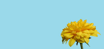 Желтый цветок с голубой предпосылкой Стоковое Фото