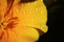 Желтый цветок с падениями дождя Стоковые Фотографии RF