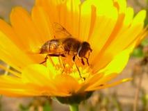 Желтый цветок с пчелой Стоковые Фотографии RF