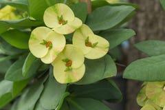 Желтый цветок терния Христоса Стоковые Изображения RF