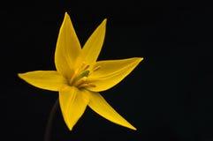 Желтый цветок тюльпана Стоковое Изображение