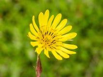 Желтый цветок лужка Стоковое Фото