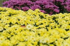 Желтый цветок хризантемы Стоковые Изображения