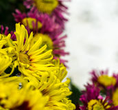 Желтый цветок хризантемы Стоковое Изображение