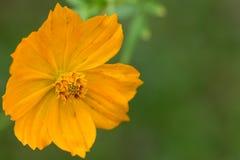 Желтый цветок Стоковые Изображения RF