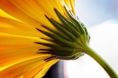 Желтый цветок Стоковая Фотография