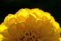 Желтый цветок Dhalia Стоковая Фотография RF