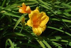 Желтый цветок Freesa Стоковые Изображения RF