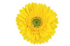 Желтый цветок gerber Стоковые Изображения RF