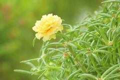 Желтый цветок portulaca Стоковые Фото