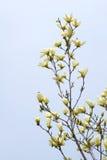 Желтый цветок Yulan Стоковые Изображения