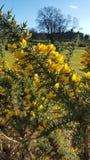 Желтый цветя куст Стоковое Фото