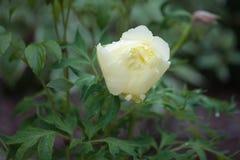 Желтый цветя пион после дождя стоковые изображения