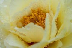 Желтый цветя пион стоковые изображения rf