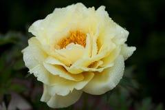Желтый цветя пион стоковые фото