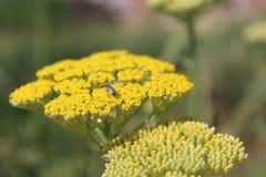 Желтый цветя тысячелистник обыкновенный (millefolium Achillea) стоковые фотографии rf