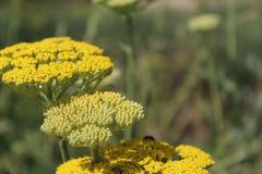 Желтый цветя тысячелистник обыкновенный (millefolium Achillea) стоковые изображения