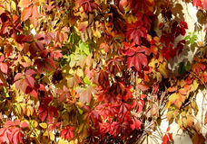 Желтый цвет, апельсин, красные листья осени как предпосылка Стоковые Фотографии RF