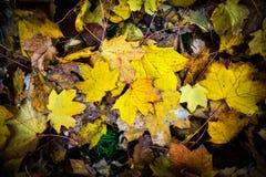 желтый цвет вала клена листва падения осени золотистый Стоковые Фотографии RF