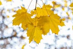 желтый цвет вала клена листва падения осени золотистый Стоковое фото RF