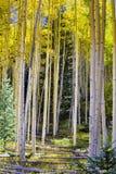 желтый цвет валов солнца пущи осени осины светя Стоковые Изображения RF