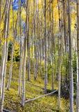 желтый цвет валов солнца пущи осени осины светя Стоковые Изображения
