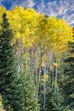 желтый цвет валов солнца пущи осени осины светя Стоковые Фотографии RF