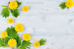 желтый цвет весны лужка одуванчиков предпосылки полный Желтые цветки одуванчика и листья зеленого цвета на свете - голубой деревя Стоковое фото RF