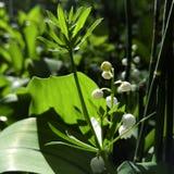 желтый цвет весны лужка одуванчиков предпосылки полный Лилии долины в цветках леса белых на предпосылке зеленых листьев Конец-вве Стоковые Изображения
