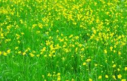 желтый цвет весны лужка одуванчиков предпосылки полный стоковая фотография rf
