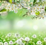 желтый цвет весны лужка одуванчиков предпосылки полный Стоковые Изображения RF