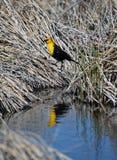 Желтый цвет возглавил черное отражение птицы Стоковое Изображение RF