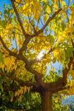 Желтый цвет выходит дерево стоковая фотография