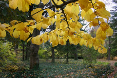 Желтый цвет выходит на дерево липы осени дерева, ботанический сад, Великобританию Стоковая Фотография RF