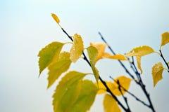 Желтый цвет выходит с падениями на ветвь дерева Стоковая Фотография RF