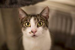 желтый цвет глаз кота Стоковые Изображения