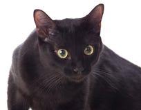 желтый цвет глаз черного кота Стоковая Фотография