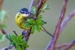 желтый цвет глуши wagtail природы зоны русский Стоковое Изображение RF