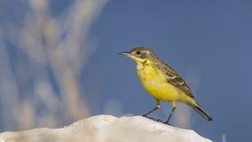 желтый цвет глуши wagtail природы зоны русский стоковая фотография rf